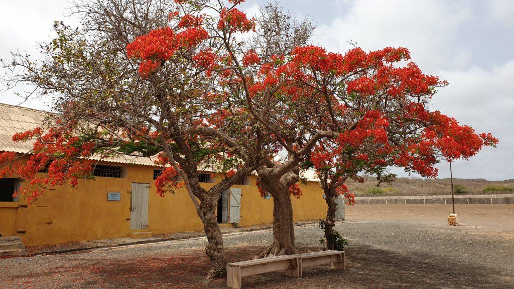 SANTIAGO Feuerbaum - Capverde